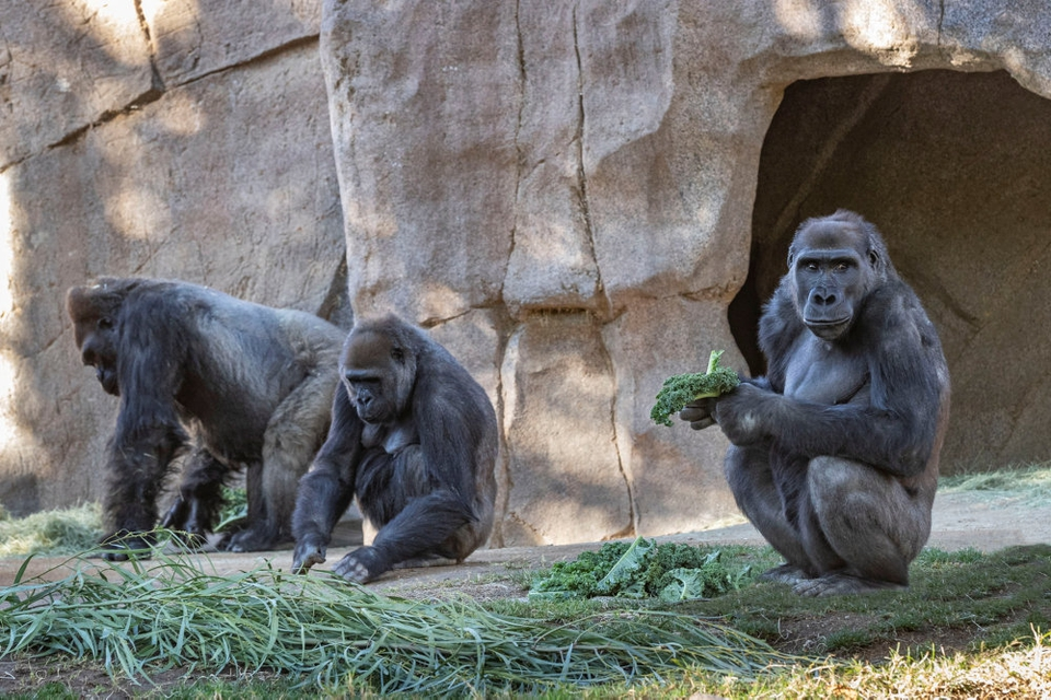 Tre af de i alt otte gorillaer, som antages at være smittede, ses her i San Diego Zoo Safari Park.