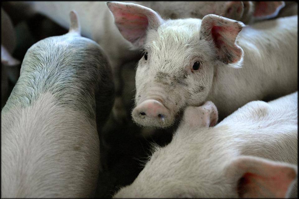 En fortsat god afsætning af svinekød til Kina har i Danish Crowns første halvår været med til at give vækst på top- og bundlinje. (Arkivfoto)