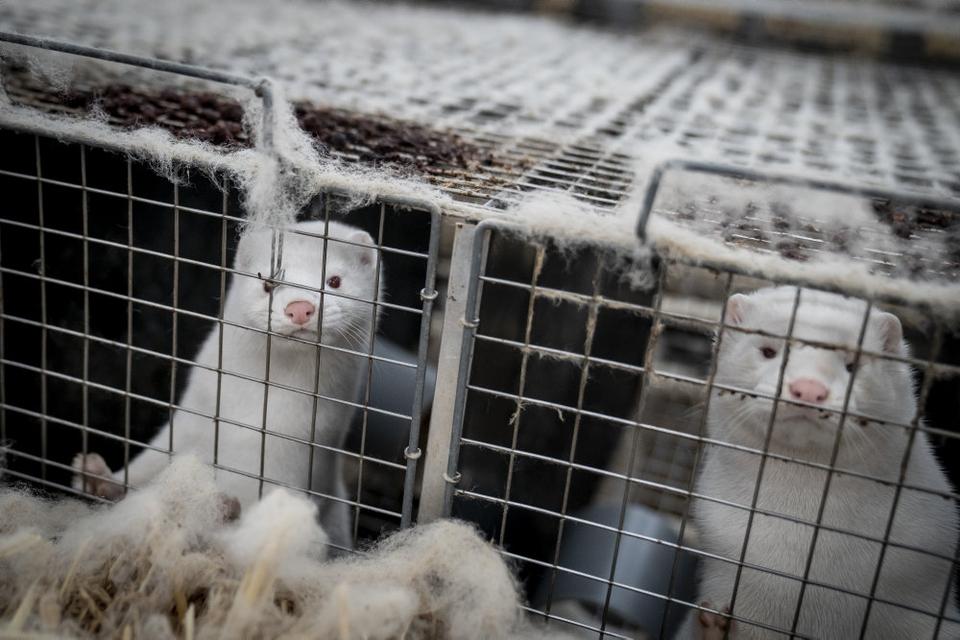 Siden det første tilfælde af covid-19 på en minkfarm blev fundet i juni, har det spredt sig som en steppebrand. Aflivningen af alle landets mink er nu i gang. (Arkivfoto)