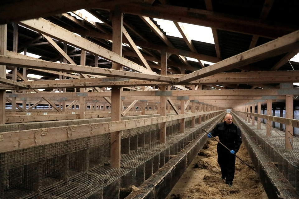 Burene er tomme på landets minkfarme, efter at det blev besluttet at aflive dyrene på grund af frygten for en coronamutation.
