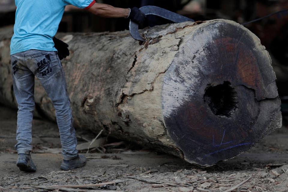 Biomasse i form af træflis fra blandt andet træer i regnskoven Amazonas i Sydamerika er blevet importeret til Danmark, selv om det har skadet biodiversiteten i skoven. (Arkivfoto)